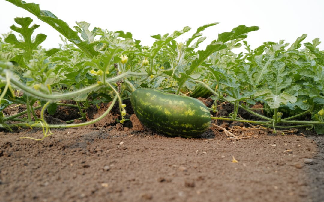 TECH-GRO® MIRA-CAL™; The Better Way to Add Calcium on Row Crops