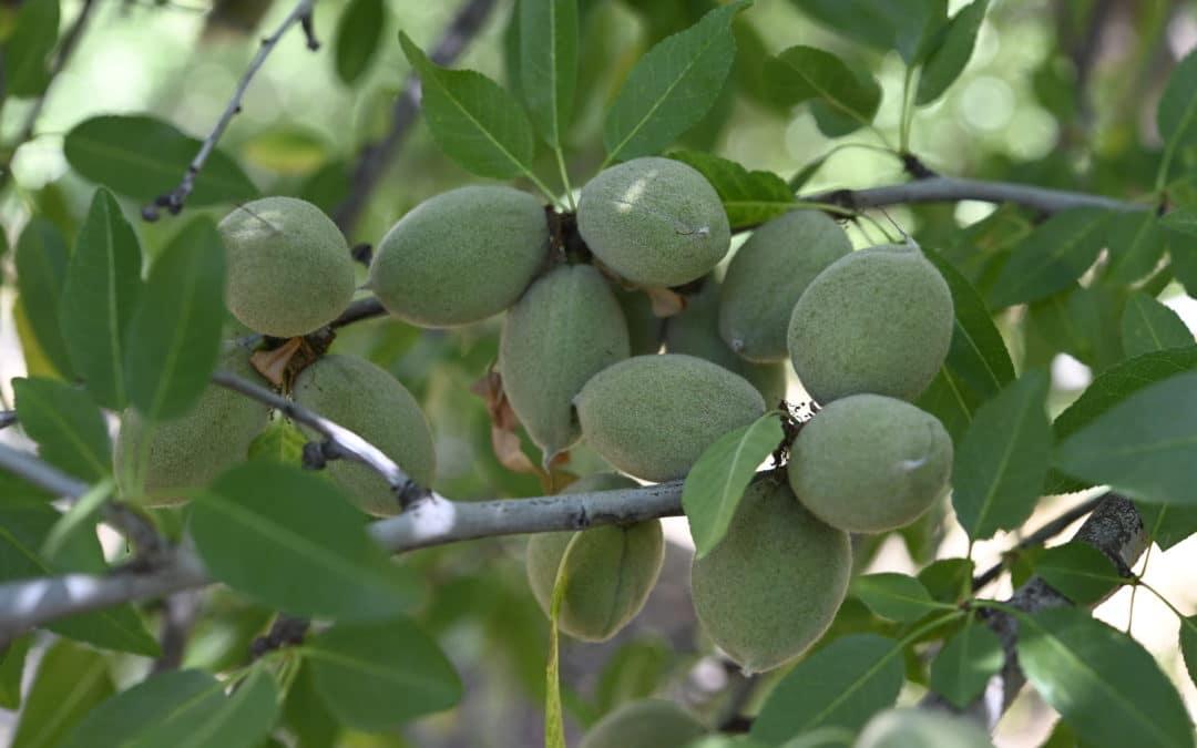Hi-K Boosts Potassium to Maximize Fruit & Nut Size